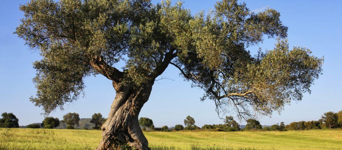 Olivi-in-Puglia